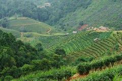 Τοπίο του τομέα τσαγιού με τις ομίχλες σε Chiangmai Ταϊλάνδη, backgrou στοκ εικόνες