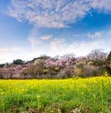 τοπίο του τομέα canola και των δέντρων & x28 κεράσι-ανθών Sakura& x29   Στοκ Εικόνες