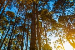 Τοπίο του φωτός πέρα από τα βουνά στο δέντρο πεύκων στην ανατολή Στοκ εικόνα με δικαίωμα ελεύθερης χρήσης
