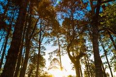 Τοπίο του φωτός πέρα από τα βουνά στο δέντρο πεύκων στην ανατολή Στοκ εικόνες με δικαίωμα ελεύθερης χρήσης