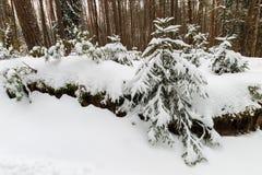 Τοπίο του χειμερινού πεύκου και του κομψού δάσους που καλύπτονται με τον παγετό Στοκ εικόνες με δικαίωμα ελεύθερης χρήσης