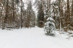 Τοπίο του χειμερινού πεύκου και του κομψού δάσους που καλύπτονται με τον παγετό Στοκ φωτογραφία με δικαίωμα ελεύθερης χρήσης