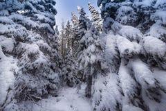 Τοπίο του χιονώδους πυκνού δάσους βουνά Άποψη των χιονισμένων ψηλών έλατων και impassable snowdrifts Στοκ Φωτογραφία