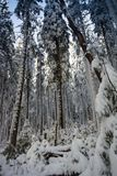 Τοπίο του χιονώδους πυκνού δάσους βουνά Άποψη των χιονισμένων ψηλών έλατων και impassable snowdrifts Στοκ Εικόνα