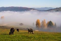 Τοπίο του χωριού φθινοπώρου Bucovina στη Ρουμανία με τα caws και την υδρονέφωση στοκ εικόνα