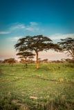 Τοπίο των δέντρων και των πιθήκων της Αφρικής Στοκ Εικόνες