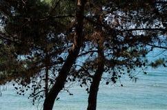Τοπίο των δέντρων πεύκων κοντά στη θάλασσα Στοκ Εικόνες