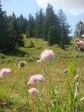 Τοπίο των δέντρων των πεύκων και των λουλουδιών στα βουνά του φυσικού πάρκου του Rhodopes στη Βουλγαρία στοκ εικόνα με δικαίωμα ελεύθερης χρήσης