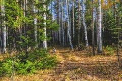 Τοπίο φθινοπώρου, δέντρα και φύλλα, ομιχλώδες δάσος στοκ εικόνες