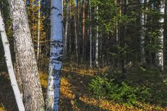 Τοπίο φθινοπώρου, δέντρα και φύλλα, ομιχλώδες δάσος στοκ εικόνα με δικαίωμα ελεύθερης χρήσης