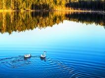 Τοπίο φθινοπώρου Η χήνα δύο κολυμπά στη λίμνη στοκ φωτογραφία