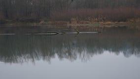 Τοπίο φθινοπώρου, θλιβερός misty δασικός ποταμός απόθεμα βίντεο