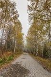 Τοπίο φθινοπώρου με τις σημύδες κατά μήκος του τρόπου, Vitosha βουνό, Βουλγαρία Στοκ Φωτογραφία