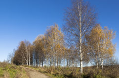 Τοπίο φθινοπώρου με τις σημύδες Στοκ Εικόνες