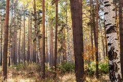 Τοπίο φθινοπώρου Το ηλιοφώτιστο φθινόπωρο ανάμιξε τα αποβαλλόμενος-κωνοφόρα fores στοκ φωτογραφία με δικαίωμα ελεύθερης χρήσης