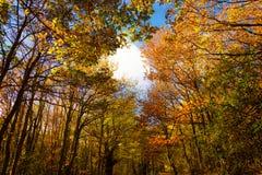 Τοπίο φθινοπώρου χρωματισμένα φθινοπωρινά δέντρα με έναν όμορφο μπλε ουρανό πίσω Aguilar de Campoo στοκ εικόνες