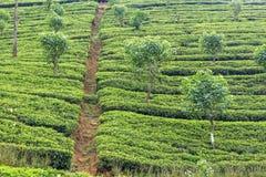 Τοπίο φυτειών τσαγιού στη Σρι Λάνκα Στοκ Εικόνες