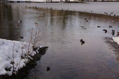 Τοπίο χειμερινό - πάπιες και πουλιά σε ένα παγωμένο νερό στοκ εικόνα με δικαίωμα ελεύθερης χρήσης