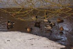 Τοπίο χειμερινό - πάπιες σε ένα παγωμένο νερό στοκ φωτογραφία
