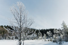 Τοπίο χειμερινών τομέων με τα παγωμένα δέντρα αναμμένα από τη μαλακή σκηνή τοπίων ηλιοβασιλέματος ελαφριά χιονώδη στους θερμούς τ Στοκ Εικόνες