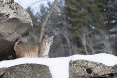 Τοπίο Bobcat στο χιονώδη απότομο βράχο Στοκ εικόνες με δικαίωμα ελεύθερης χρήσης