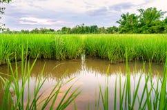 Τοπίο cornfield και του πράσινου τομέα με τον ποταμό και τον ουρανό reflec Στοκ φωτογραφία με δικαίωμα ελεύθερης χρήσης