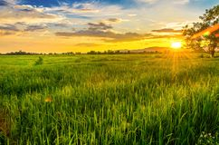 Τοπίο cornfield και του πράσινου τομέα με το ηλιοβασίλεμα στο αγρόκτημα, Στοκ εικόνες με δικαίωμα ελεύθερης χρήσης