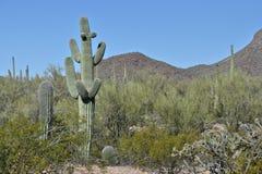 Τοπίο Saguaro Στοκ Εικόνες