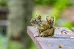 Τοπική άγρια φύση - χαριτωμένος επίγειος σκίουρος Στοκ Εικόνες
