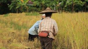 Τοπικοί βόρειοι ταϊλανδικοί τοπικοί αγρότες ρυζιού που συγκομίζουν, με το χέρι, τις πολύβλαστες συγκομιδές ρυζιού και που βάζουν  απόθεμα βίντεο