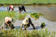 Τοπικοί χωρικοί που εργάζονται σε έναν τομέα ρυζιού στην κοιλάδα Champasak, Λάος στοκ εικόνες