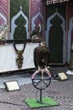 Τοποθέτηση αετών ήρεμα σε μια έκθεση Στοκ Εικόνες