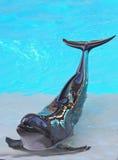 τοποθέτηση δελφινιών Στοκ εικόνες με δικαίωμα ελεύθερης χρήσης