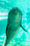 Τοποθέτηση δελφινιών για τη κάμερα υποβρύχια Στοκ φωτογραφίες με δικαίωμα ελεύθερης χρήσης