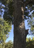 Τοποθέτηση σκιούρων στο δέντρο πεκάν στοκ εικόνες με δικαίωμα ελεύθερης χρήσης