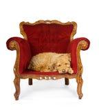 τοποθέτηση σκυλιών καναπ Στοκ Εικόνα