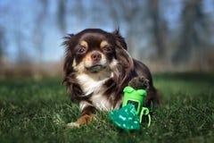Τοποθέτηση σκυλιών Chihuahua με τις τσάντες αποβλήτων στοκ εικόνες