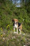 Σκυλί λαγωνικών Στοκ φωτογραφίες με δικαίωμα ελεύθερης χρήσης