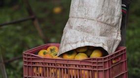 Τοποθέτηση persimmons στο καλάθι απόθεμα βίντεο