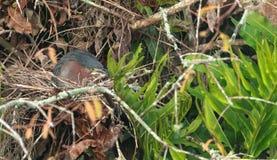 Τοποθεμένος πράσινος ερωδιός Butorides virescens Στοκ Φωτογραφία