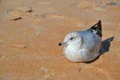 Τοποθεμένος seagull πουλί στην άμμο Στοκ φωτογραφία με δικαίωμα ελεύθερης χρήσης