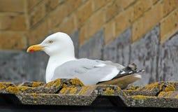 Τοποθεμένος seagull Στοκ Εικόνα
