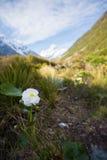Τοποθετήστε τα λουλούδια κρίνων Cook, Hooker κοιλάδα, Aoraki τοποθετεί το έθνος Cook Στοκ Φωτογραφία