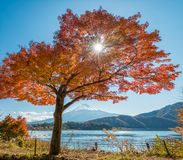 Τοποθετήστε το Φούτζι με το δέντρο σφενδάμνου Στοκ Εικόνες