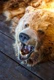 Τοποθετημένος αντέξτε με το ανοικτό στόμα Στοκ φωτογραφία με δικαίωμα ελεύθερης χρήσης