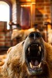 Τοποθετημένος αντέξτε με το ανοικτό στόμα Στοκ Φωτογραφία