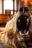 Τοποθετημένος αντέξτε με το ανοικτό στόμα Στοκ εικόνες με δικαίωμα ελεύθερης χρήσης