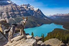 τοποθετημένο εθνικό peyto πάρκων Αλμπέρτα banff Καναδάς λίμνη Στοκ φωτογραφίες με δικαίωμα ελεύθερης χρήσης