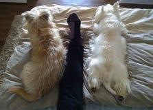 Τοπ άποψη δύο σκυλιών που στηρίζονται στο κρεβάτι με τα μέρη της γοητείας στοκ φωτογραφία με δικαίωμα ελεύθερης χρήσης