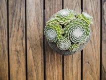 Τοπ άποψη ενός succulent ιστού αράχνης houseleek Στοκ εικόνες με δικαίωμα ελεύθερης χρήσης